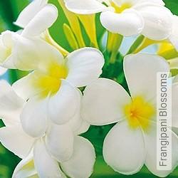 Tapete: Frangipani Blossoms